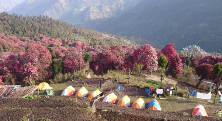 Rhododendron Forest in Annapurna,Flower in March and April in Annapurna Photo Tour